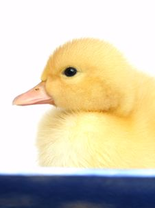 Free The Small Yellow Goose Royalty Free Stock Photo - 2484035