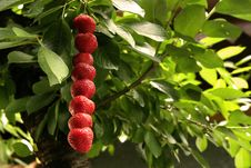 Free Strawberries Stock Photo - 2484290