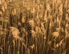 Free Dry Grass Texture Royalty Free Stock Photos - 2484488