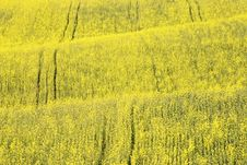 Free Rape Field Stock Photos - 2484933
