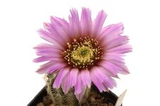 Free Echinocereus Glasii Royalty Free Stock Photo - 2485595
