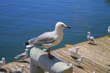 Greyheaded Gull Stock Image