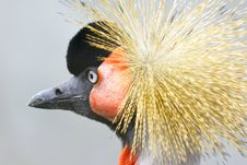 Crowned Crane Stock Photography