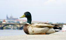 Free Duck Stock Photos - 2486203