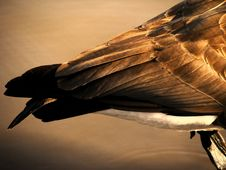 Free Goose Feathers Stock Image - 2486491