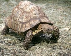 Radiated Tortoise 2 Stock Image