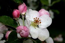 Apple Tree Flowers Royalty Free Stock Photos