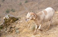 Free Ram On A Rocky Slope Stock Photography - 2488262