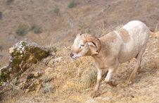 Ram On A Rocky Slope Stock Photography