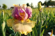 Colorful Iris In The Field Royalty Free Stock Photo