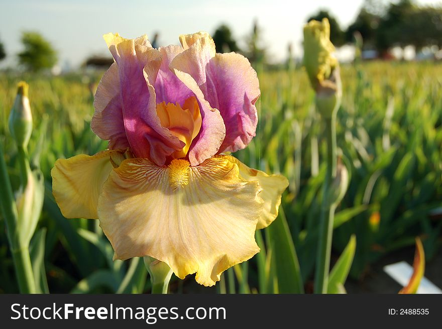 Colorful Iris in the Field