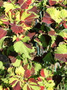 Free Colorful Leaves Royalty Free Stock Photos - 24803678