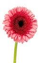 Free Single Pink Gerbera Stock Photography - 24803782