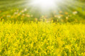 Free Rapeseed And Sulight Royalty Free Stock Images - 24807669