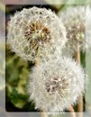 Free Dandelion Stock Photos - 24808043