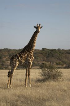Free Giraffe Stock Image - 24800001