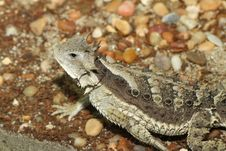 Free Horned Lizard Royalty Free Stock Images - 24802369
