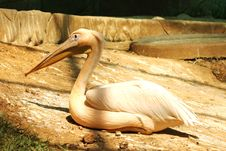 Free Pelicans Royalty Free Stock Image - 24804076