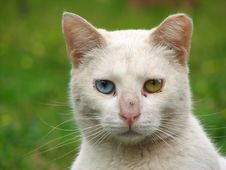 Free White Cat With Different Eyes Royalty Free Stock Images - 24805519