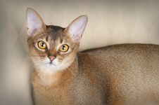 Free Gorgeous Female Abysssinian Cat Stock Images - 24808154