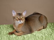 Free Gorgeous Female Abysssinian Cat Royalty Free Stock Photography - 24808287