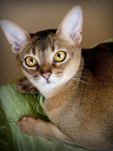 Free Gorgeous Female Abysssinian Cat Royalty Free Stock Photography - 24808377
