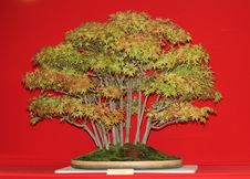 Free Bonsai Miniature Tree. Royalty Free Stock Image - 24810566