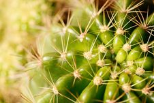 Free Vivid Green Grusonii Cactus Closeup Shot Stock Image - 24816491