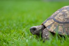 Free Turtle Royalty Free Stock Image - 24816746