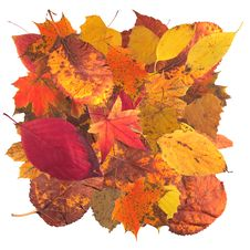 Free Autumn Leaves3 Royalty Free Stock Photo - 24818195