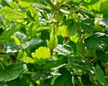 Free The Green Berries Stock Photos - 24820403