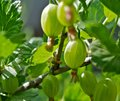 Free The Green Berries Royalty Free Stock Photography - 24820407
