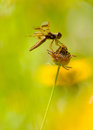 Free Dragonfly Royalty Free Stock Photography - 24824917