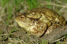 Free Toads Stock Image - 24820071