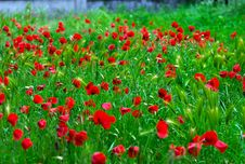Free Poppies Royalty Free Stock Photography - 24825007