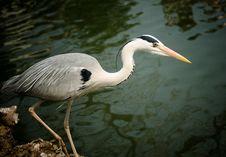 Free Great Blue Heron Royalty Free Stock Image - 24825066