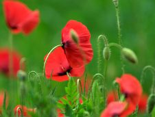 Free Poppies Royalty Free Stock Photography - 24825097