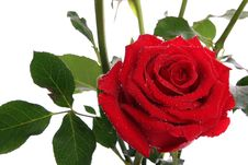 Free Red Roses With Dew Stock Image - 24825191