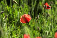 Free Poppies Royalty Free Stock Photo - 24825225