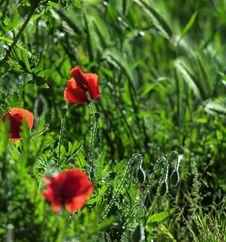 Free Poppies Royalty Free Stock Photos - 24825238