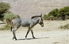 Free Somali Ass In Israeli Savanna Royalty Free Stock Photo - 24828725