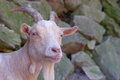 Free Blonde Billy Goat Royalty Free Stock Image - 24831466