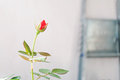 Free Escape Rose With A Bud Stock Photo - 24834690