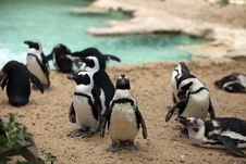Free Flock Of Penguins Stock Images - 24830104