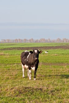 Free Cow Royalty Free Stock Photography - 24830467