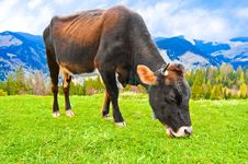 Free Cow On Meadow At Mountains Landscape Royalty Free Stock Photo - 24830515