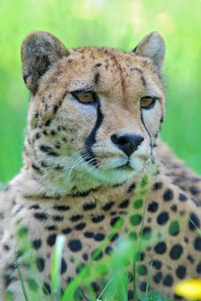 Free Portrait Of Cheetah Royalty Free Stock Image - 24830916