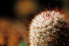 Free Escobaria Nipple Cactus With Long And Short Spines Stock Photo - 24831100