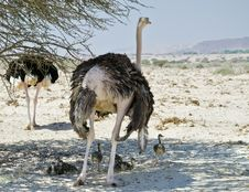 Free Family Of Afracan Ostrich In Israeli Savanna Royalty Free Stock Photos - 24834298
