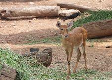 Free Thai Antelope, Thailand Royalty Free Stock Photos - 24838828